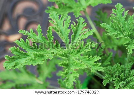 Close up of the green leaves of a citronella (mosquito) plant  - stock photo