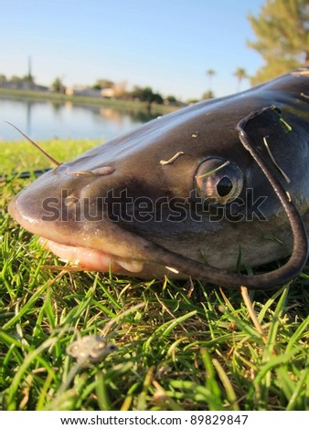 close up of the head of a cat fish which was just caught and thrown back - stock photo