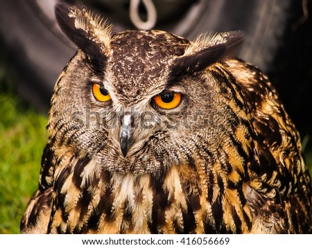 Close up of the head of a Eurasian eagle-owl (Bubo bubo)
