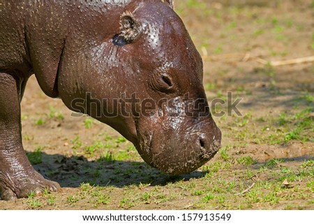 Close-up of the head of a pygmy hippopotamus in zoo. - stock photo