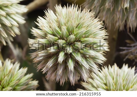 Close up of the Head of  Great Globe Thistle - stock photo