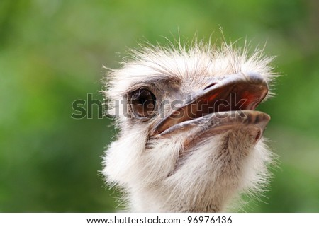 Close up of the head of ostrich