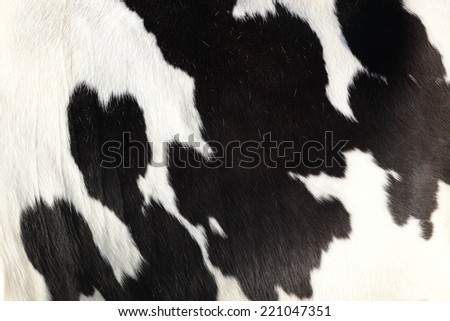 Close up of the hide of a Holstein cow