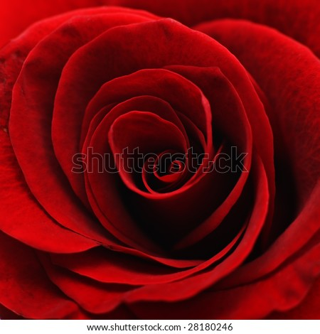 Close-up of the inside of a red rose - stock photo