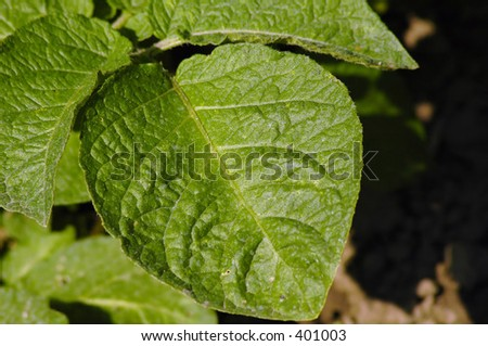 Close up of the leaves of the potato plant