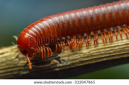 close up of the millipede walking - stock photo