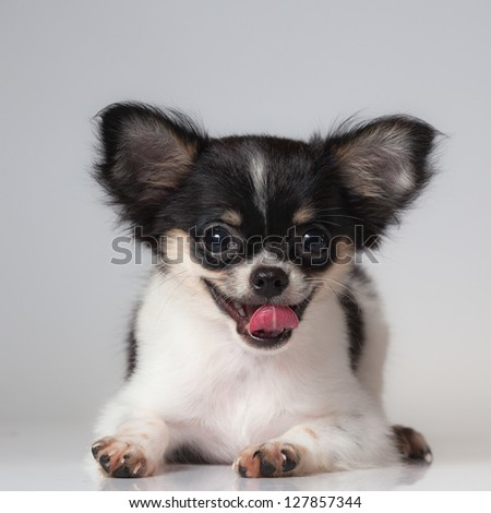 Close up of the nice Chihuahua puppy