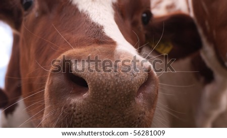 Close-up of the nose of a cow - stock photo