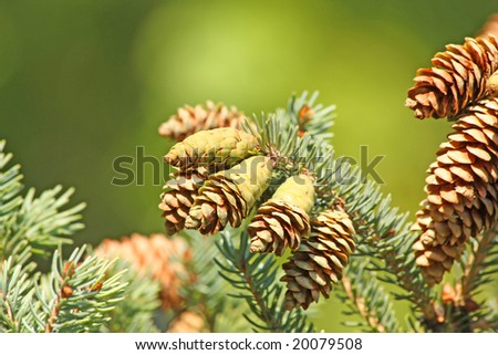 Close up of the pine cones
