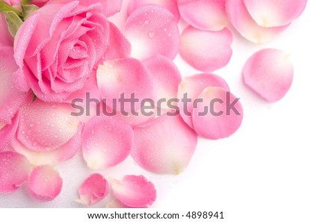 Close up of the pink rose petails - stock photo