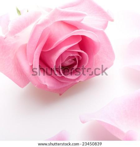Close up of the pink rose petals - stock photo