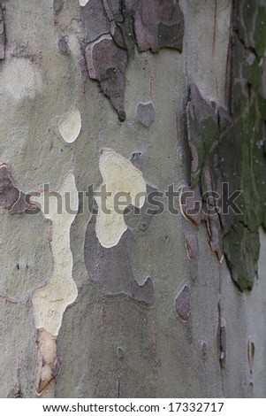Close up of the plane tree bark texture.