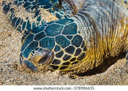 Close-up of the protected green sea turtle resting on the sand in Hawaii - stock photo