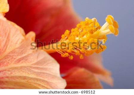 Close-up of the red hibiscus flower. Focus is on the stamen.