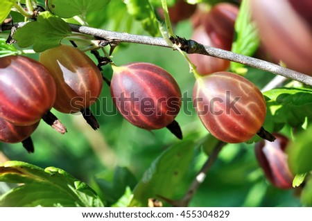 close-up of the ripe gooseberries in the garden - stock photo