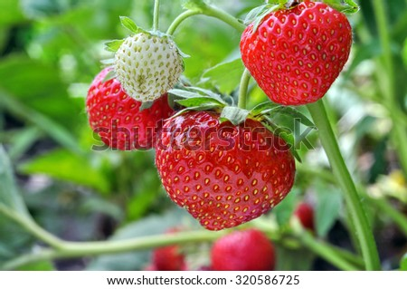 close-up of the ripe strawberry in the  garden