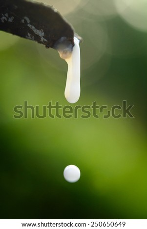 Close-up of the rubber latex drop from a rubber tree - stock photo