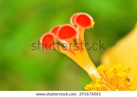 Close up of the shoe flower. Anther and stigma. - stock photo