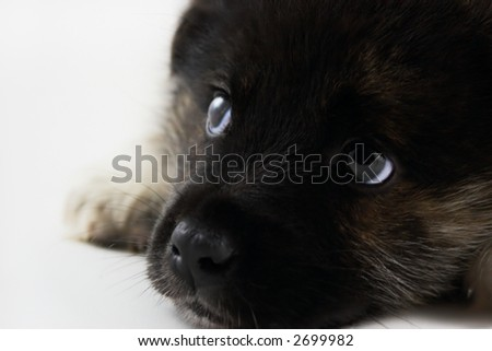 close-up of the thoughtful puppy on a white background