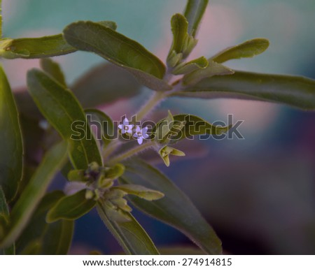 Close up of the tiny flowers of the stevia plant, also known as sweet leaf, in shade. - stock photo
