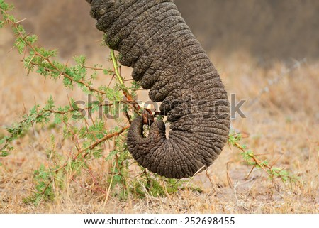 Close-up of the trunk of a feeding African elephant (Loxodonta africana), South Africa - stock photo