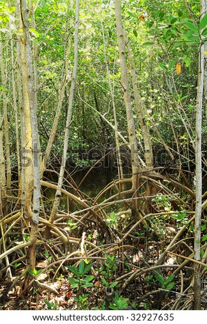 Close-up of the undergrowth and roots of Red Mangrove trees In the Everglades National Park - stock photo