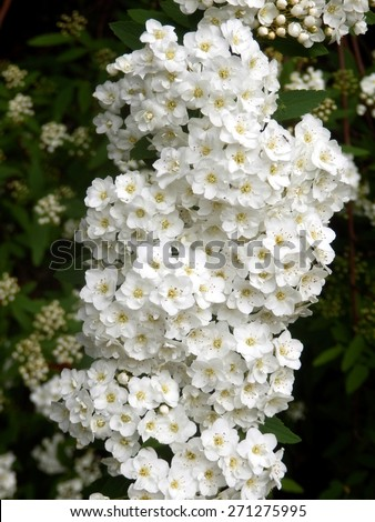 White Flowering Shrub Spirea Aguta Brides Stock Photo