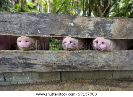 close-up of three pig snouts through a fence - stock photo