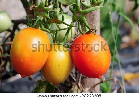 Close up of three plum tomatoes on plant - stock photo