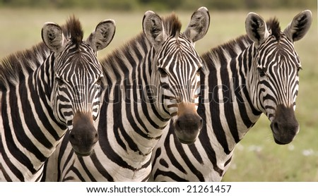 Close up of three zebras in Masai Mara Kenya