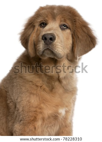 Close-up of Tibetan Mastiff puppy, 3 months old, in front of white background - stock photo