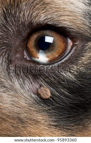 Close-up of Tick attached next to an Australian Shepherd's eye