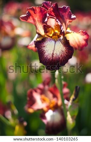 Close up of tiger iris - stock photo