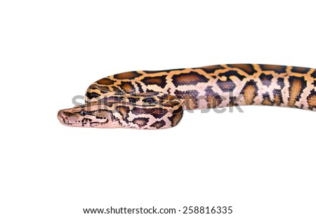 Close up of tiger python (Burmese Python) on white background isolated Boa constrictor, Common viper snake, Common adder - stock photo
