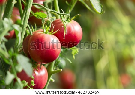 Close-up of tomato plants with fresh tomatoes in the garden, selective focus.