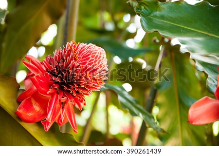 Close up of Torch ginger or Etlingera elatior blossom family zingiberaceae on Cuba. - stock photo