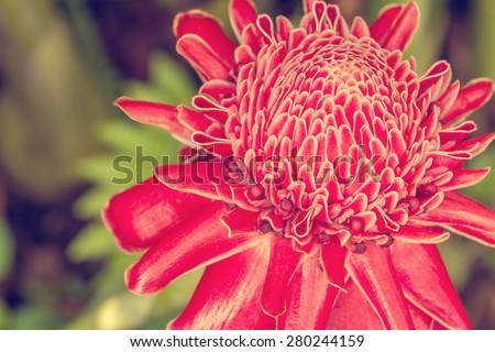 Close up of Torch ginger or Etlingera elatior blossom in flower garden - Vintage style pictures - stock photo