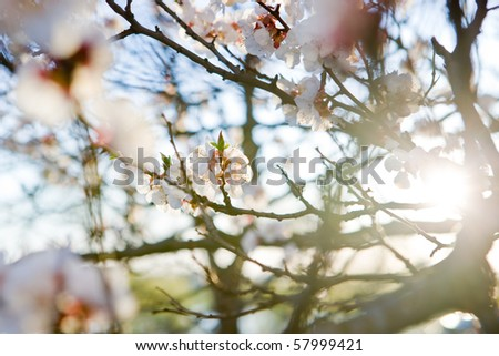 Close up of tree blossom in april - stock photo