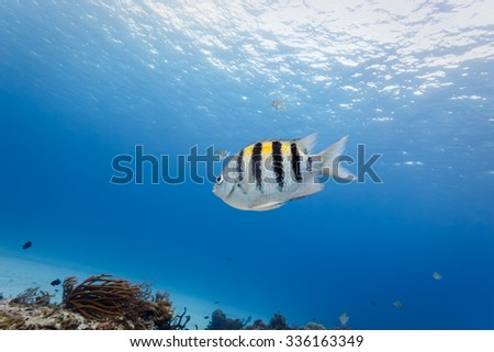 Close-up of tropical Sergeant Major fish swimming in blue water with coral reef in background