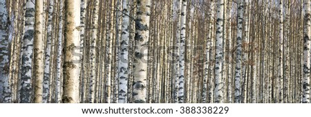 close up of trunks of birch trees in early spring