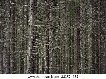 Close up of trunks of conifer trees in thick forest - stock photo