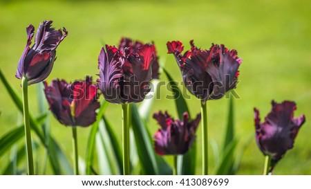 Close up of tulip Black Parrot in garden - stock photo