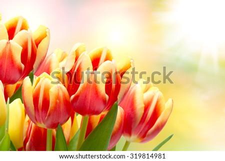 Close up of tulip flowers - stock photo