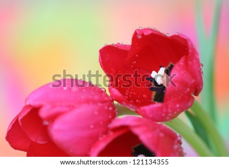Close-up of tulip flowers on colorful background - stock photo