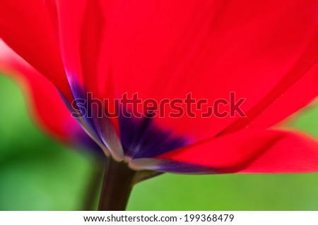 Close up of tulips. Shallow depth of field. - stock photo