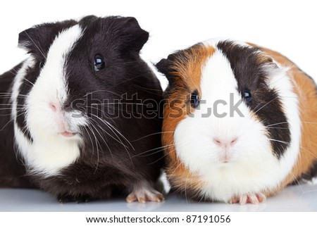 Close up of two adorable guinea pigs isolated - stock photo