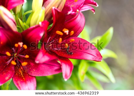 close up of two ants on a red lily flower in a backyard garden. selective focus on ants, horizontal - stock photo