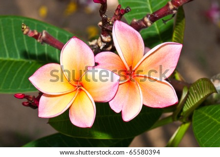 Close-up of two beautiful pink plumeria , Thailand. - stock photo