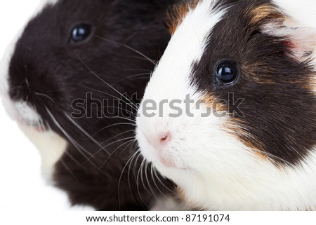 Close up of two cute guinea pigs isolated - stock photo