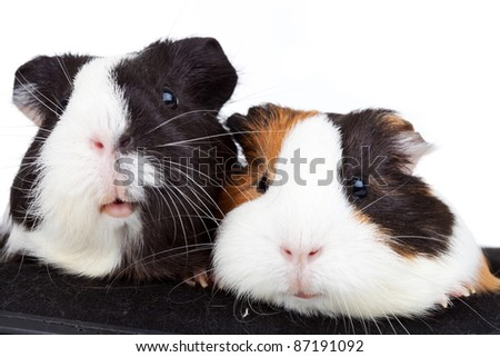 Close up of two cute guinea pigs on white background - stock photo